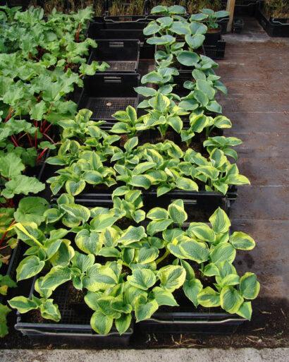 Köp 3–5 perenner av varje anpassade till växtförhållandena, det blir både snyggare och mer lättskött. Här funkior som passar i skugga