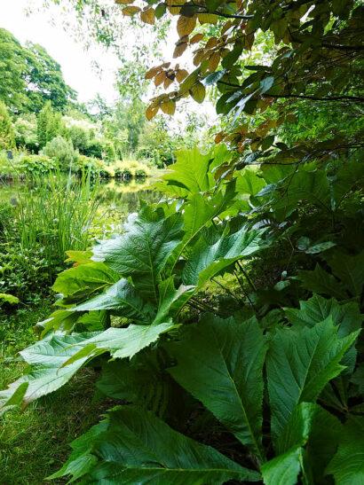 I fuktig mark i skydd av trädens skugga trivs stora vackra bladväxter. Till dem hör fingerrodgersia, Rodgersia pinnata. Över skymtar en bok med rödlätta blad.