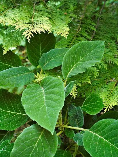 Vasst mot mjukt. Den silkeslena sammetshortensian, Hydrangea aspera ssp. sargentiana, som inte borde vara härdig i de här trakterna, i harmoni med den gulbarrade tujan.