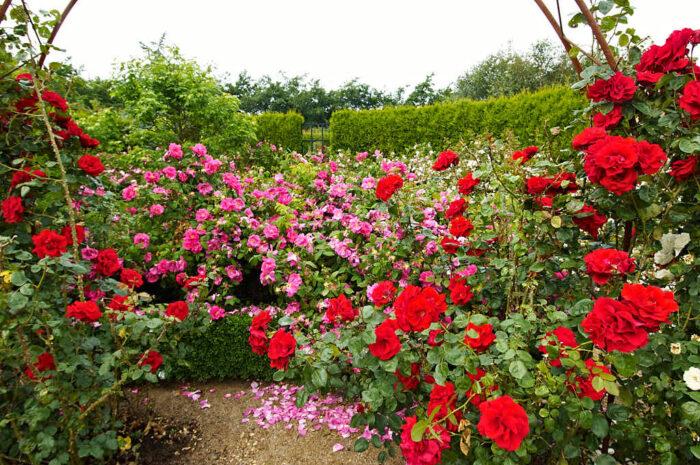 Massor av rosor i två olika röda nyanser, Laubjerg Rosenhave på Jylland.