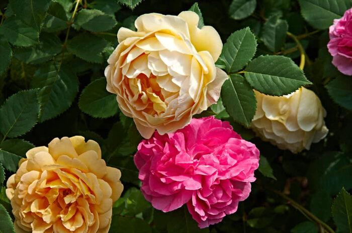 Båda rosorna har liknande härstamning, den rosaröda heter 'Gertrude Jekyll och namnet på den gyllene skönheten är 'Golden Celebration'.