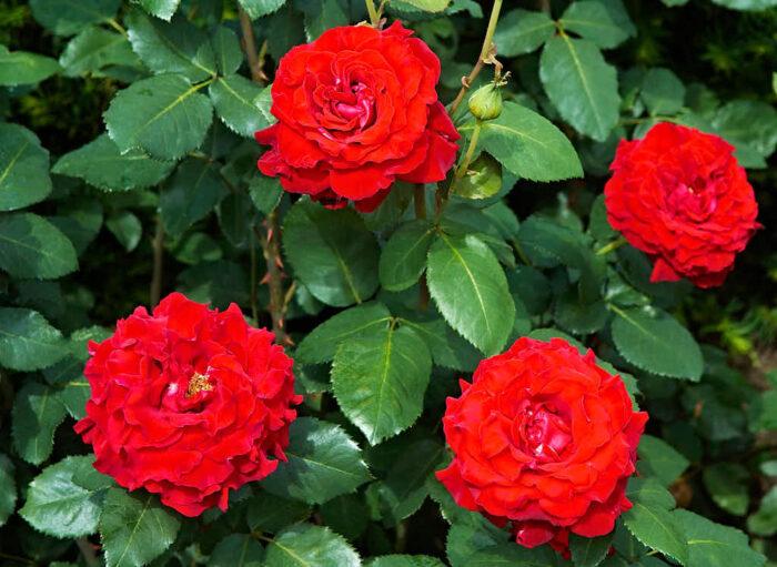 En rejält mörkröd tehybrid är sorten 'Courage' från Poulsen roser i Danmark.