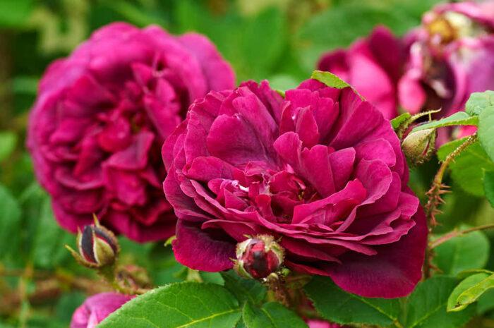 En av de få rosor som drar mot blått är mossrosen 'Blue Boy'.