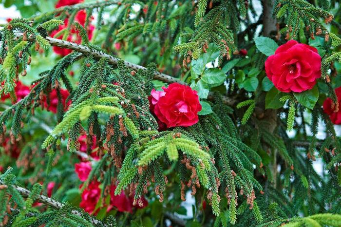 Den klättrande kordesiirosen 'Flammentanz' klättrar längs en orientalisk guldgran Picea orientalis 'Aureospicata'.