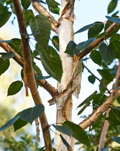 Genom att den med jämna mellanrum släpper det yttre skiktet av sin bark behåller himalayabjörk, Betula utilis var. Jacquemontii, sin vita stam även som äldre. Som allra tjusigast under den grå höst då stammarna lyser upp i mörkret. Har dessutom ett läckert växtsätt med perfekt vinklade grenar.
