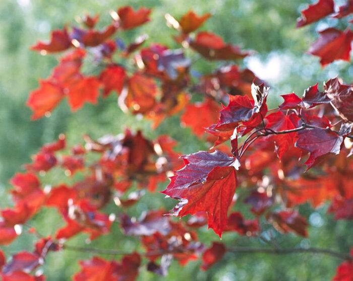 Fröplanta av blodlönn, Acer platanoides 'Schwedleri', en snygging för hela säsongen från lövsprickning fram till höstens ännu mer röda färg. Den klarar sig både här i Medelpad och en bit längre upp längs Norrlands kustland.