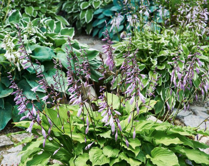 En smärre orgie av funkior omger den konstgjorda bäcken. Med få andra växter kan man med så enkla medel åstadkomma kraftfulla kompositioner.