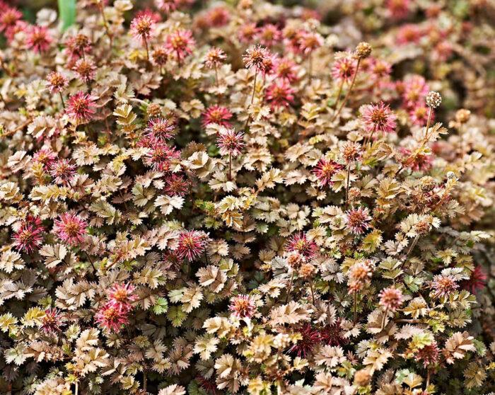 Till en av många ovanliga och vackra perenner i Margaretas rabatter hör brun taggpimpinell, Acaena microphylla.