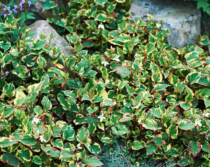 Brokigt ödleblad, Houttuynia cordata 'Chameleon', anses höra hemma där det är vått och sumpigt. På det Gamla Bryggeriet står den solutsatt och klarar sig bra ändå