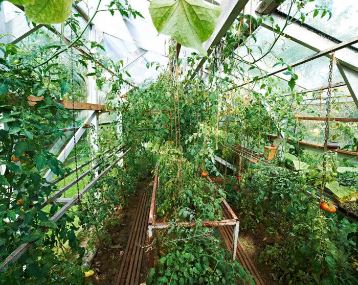 På sommaren odlas massor av tomater i växthuset.