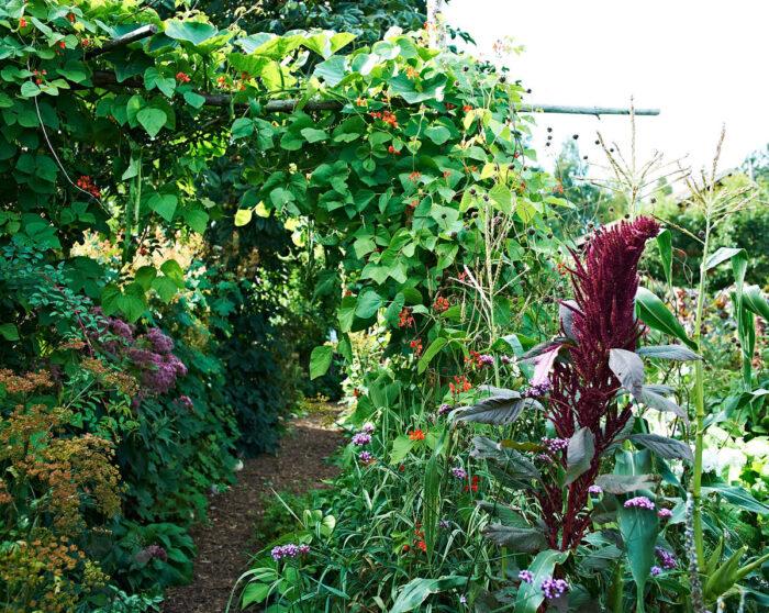 Pergolan över gången mellan pumpaodlingar och grönsaksland är byggd av runda ekstolpar som annars skulle gått till ved. Med blomsterbönor kan man kombinera färg och matnyttighet.
