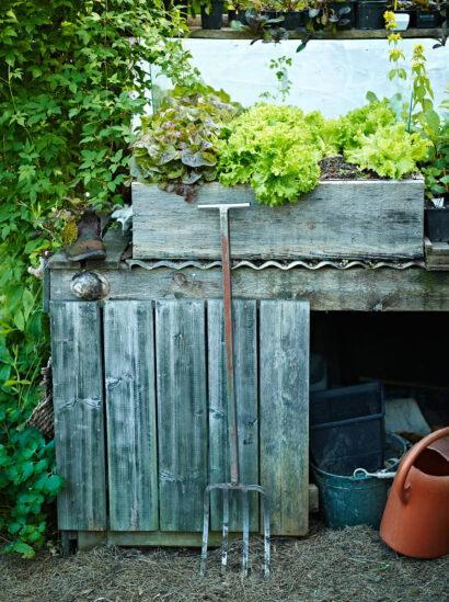 Sallat odlar Börje upphöjd i en plåtinfattad låda, den blir lättåtkomlig och gröna blad vill han äta varje dag. Regn och överskottsvatten dräneras ut på den korrugerade plåten under och rinner bort.