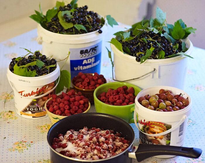 Resultatet av en bra eftermiddag i augusti med krusbär, vilda hallon och svarta vinbär av den härdiga sorten 'Öjebyn'.