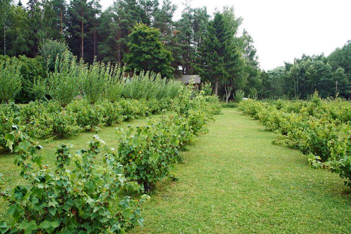 Kommersiellt odlade svarta vinbär står i rader för ljuset och utrymmets skull. Bild från Annelund på Åland.